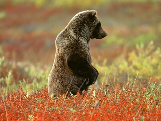 animals, bears - nature wallpaper - 320x240
