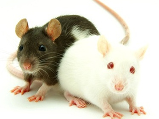 animals, rats - nature wallpaper - 320x240