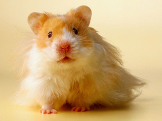hamsters - nature wallpaper - 320x240