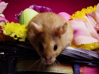 animals, hamsters - nature wallpaper - 320x240